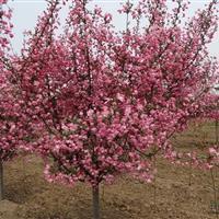 供应观花绿化苗木一分快三小苗 一分快三多种规格
