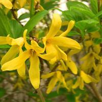 供应先花后叶植物连翘苗 黄老虎 黄金条 多个分枝