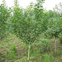 供应紫叶矮樱、红梅、绿梅、垂梅、腊梅、榆叶梅、珍珠梅、金丝梅
