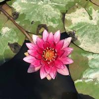 水生植物价格产地 地被植物花菖蒲 梭鱼草 睡莲