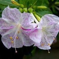 报春花胭脂花种子张家界地区供应 花期长,花色多