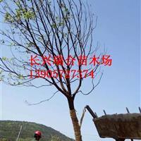精品全冠香樟12-35公分  浙江香樟树