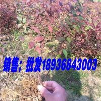 金焰绣线菊最新价格,优质绣线菊批发,绣线菊工程苗