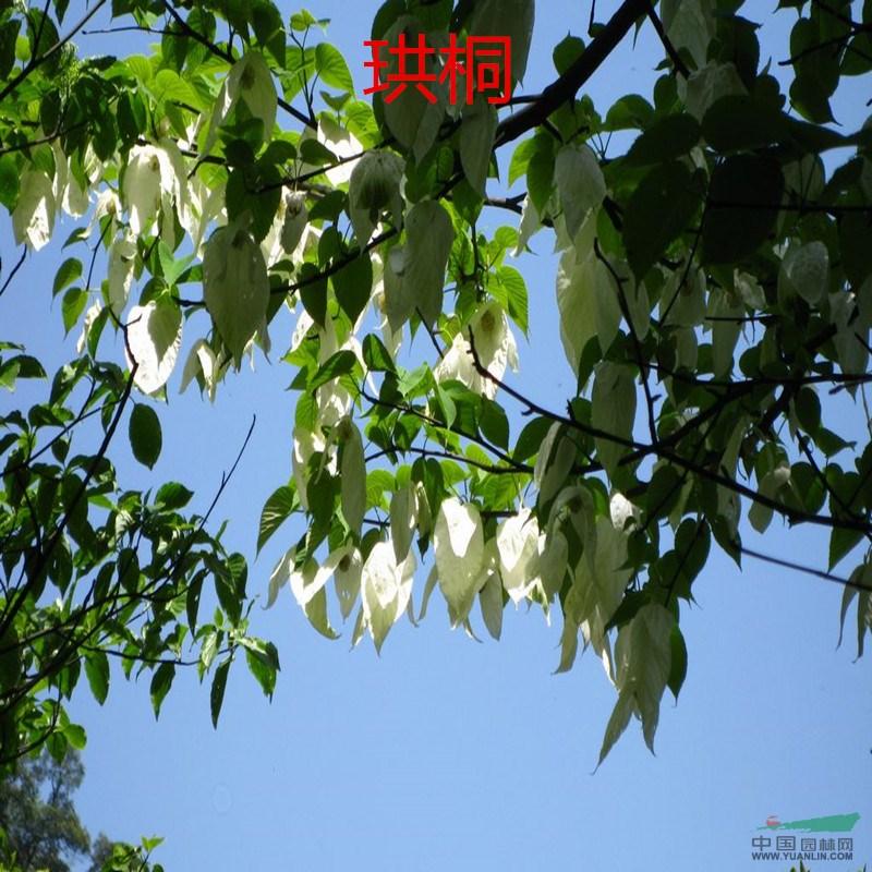 花木种子 沙藏珙桐种子 别名鸽子花树苗木种子 珍稀绿化植物树