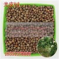 光皮树种子 光皮树苗木种子 光皮树可加工柴油 发芽率高质量保
