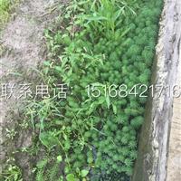 【全国物流配送】【低价供应】金鱼藻、金鱼草、狐尾藻、水遁草