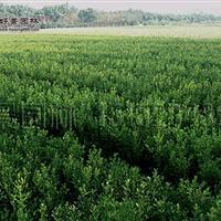 瓜子黄杨价格_瓜子黄杨产地_瓜子黄杨绿化苗木苗圃基地