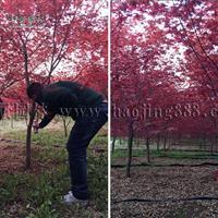 日本红枫价格_日本红枫产地_日本红枫绿化新葡京赌场赌厅苗圃基地