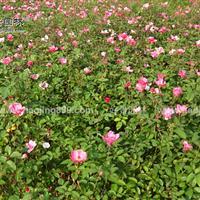 月季花价格_月季花图片_月季花产地_月季花绿化苗木苗圃基地