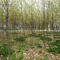 红白玉兰价格_红白玉兰产地_红白玉兰绿化苗木苗圃基地