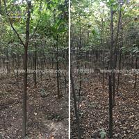 红榉树价格_红榉树图片_红榉树产地_红榉树绿化苗木苗圃基地