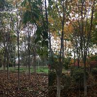 红花七叶树价格_红花七叶树产地_红花七叶树绿化苗木苗圃基地