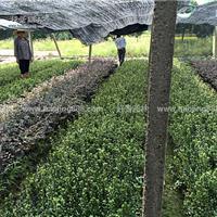 紫鹃价格_紫鹃图片_紫鹃产地_紫鹃绿化苗木苗圃基地