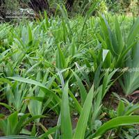 鳶尾價格_鳶尾圖片_鳶尾產地_鳶尾綠化苗木苗圃基地
