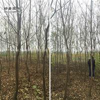 乌桕价格_乌桕图片_乌桕产地_乌桕绿化苗木苗圃基地