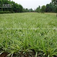 金边麦冬草价格_金边麦冬产地_金边麦冬绿化苗木苗圃基地