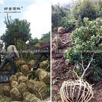 杨梅价格_杨梅图片_杨梅产地_杨梅绿化苗木苗圃基地