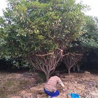 安徽红叶石楠树,肥西红叶石楠树供应商,红叶石楠树冠300