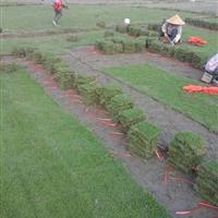 长期大量供应优质马尼拉草皮