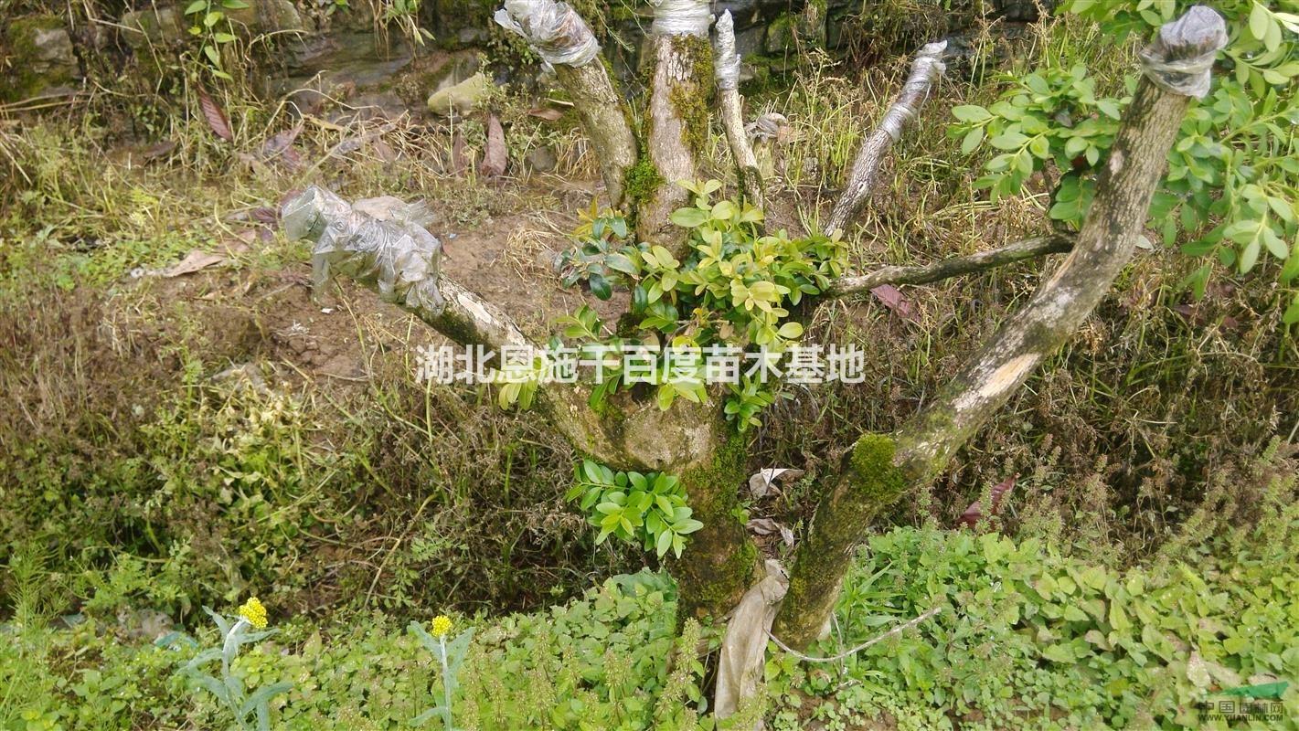 百年黄杨木