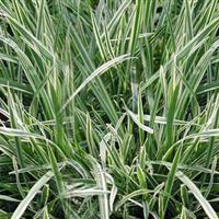 基地大量供应花叶燕麦草