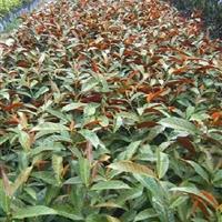福建供应红背桂,花叶良姜,棕榈