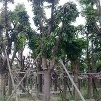 福建供应芒果树