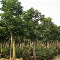 供應重陽木