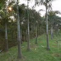 福建大王椰子
