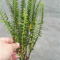 肾蕨,四川地区供应地被小苗
