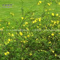黄馨价格_黄馨图片_黄馨产地_黄馨绿化快乐赛车玩法苗圃基地