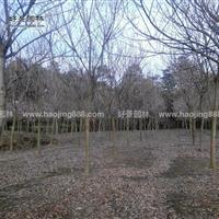 黄金树价格_黄金树图片_黄金树产地_黄金树绿化苗木苗圃基地