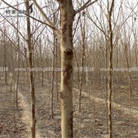 构树价格_构树图片_构树产地_构树绿化苗木苗圃基地