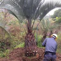 福建供应布迪椰子,福建漳州布迪椰子,布迪椰子价格