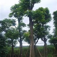 福建供应芒果树,重阳木,秋枫,小叶榕,鸡冠刺桐,香樟,