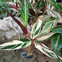福建供应七彩竹芋,细叶栀子花,红桑,紫花芦莉,六月雪