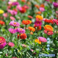 百日草种子批发 各种花卉种子  林木种子批发  量大价优