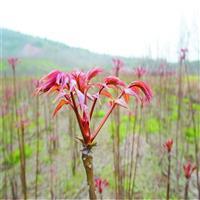红油香椿苗货源地在哪