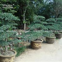 造型五针松价格_造型五针松产地_造型五针松绿化苗木苗圃基地