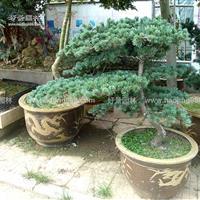 五针松造型价格_五针松造型产地_五针松造型绿化苗木苗圃基地