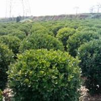苗木售价;十大功劳、紫薇、结香、白蜡、杜鹃、丹桂、夏鹃、香椿