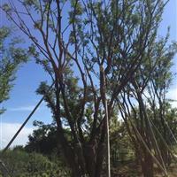 肥西大型移植朴树、丛生朴树、多杆朴树、大型曾道人心水论坛基地