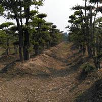 长期供应造型刺冬青(柞树)