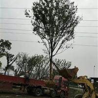 安徽精品榉树、安徽红榉树、安徽红榉专供大型苗木场