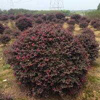 *大的红花继木球基地、海桐球、红叶石楠球、女贞球肥西球型专供