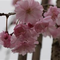 供应垂枝樱花扦插一年苗