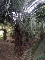 布迪椰子基地供应/布迪椰子基地图片