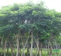 福建凤凰木假植袋苗信息