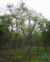 台湾栾树2供应/台湾栾树2图片