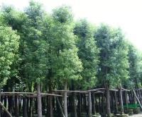 香樟樹新價格/香樟樹報價